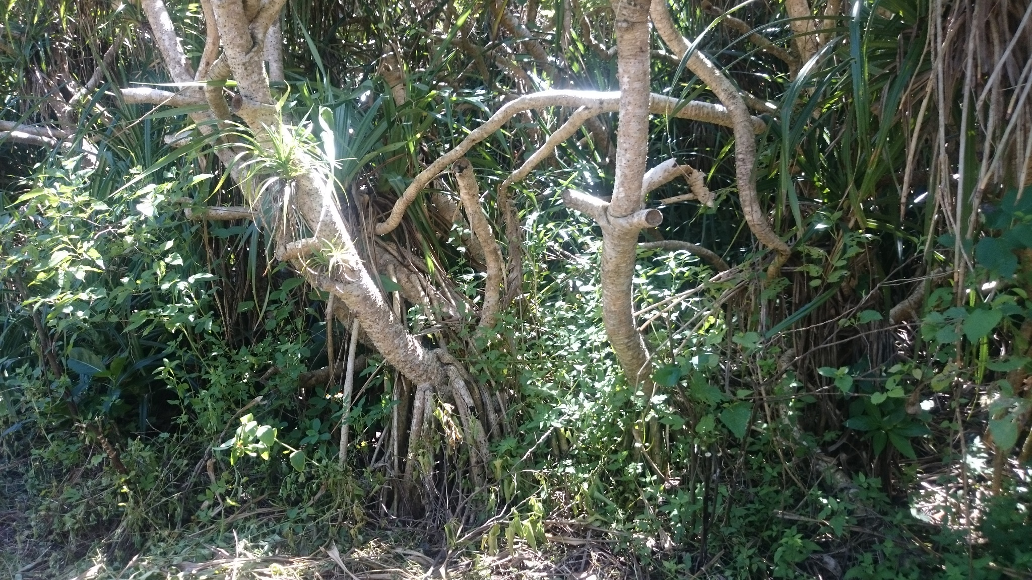 アダンの木